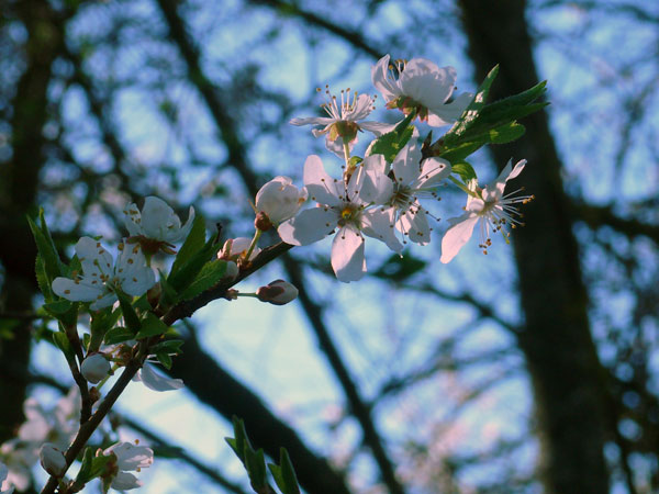 pleasure_Blossoms