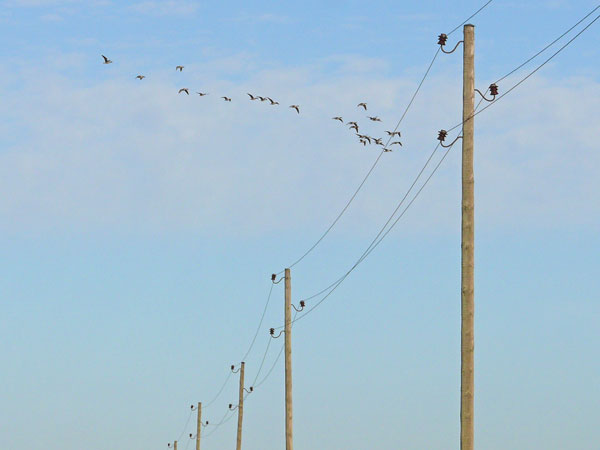 Powerlines_Birds