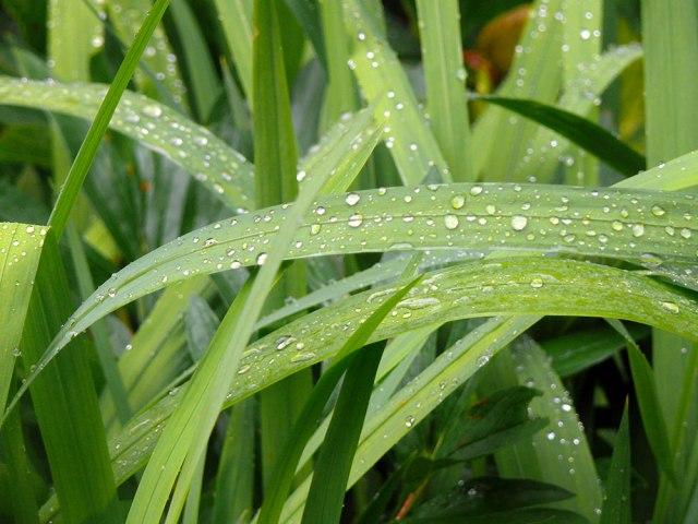 grasses_rain